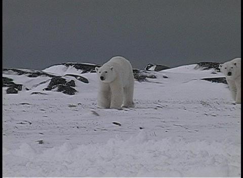 polar bears walk near a snow-covered shoreline in Churchill, Alaska Footage