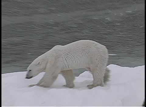 A camera tracks a polar bear as it walks along an icy,... Stock Video Footage