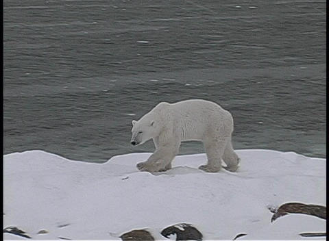 A camera tracks a polar bear as it walks along an icy, snow-covered shore in Churchill, Alaska Footage