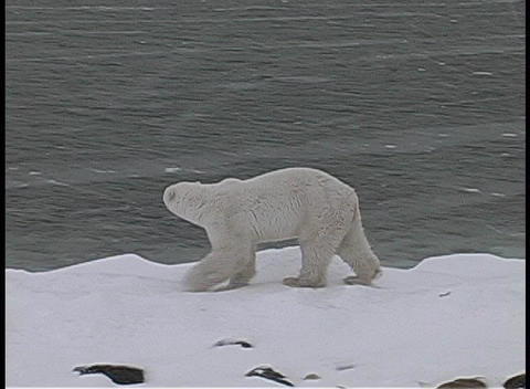 A camera tracks a polar bear as it walks along an icy,... Stock Video Footage