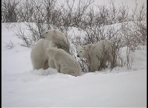 A mother polar bear and her two cubs search for fruit on... Stock Video Footage
