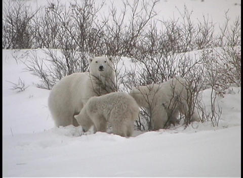 A mother polar bear and her two cubs search for fruit on bushes in the snow covered wilderness of Ch Footage
