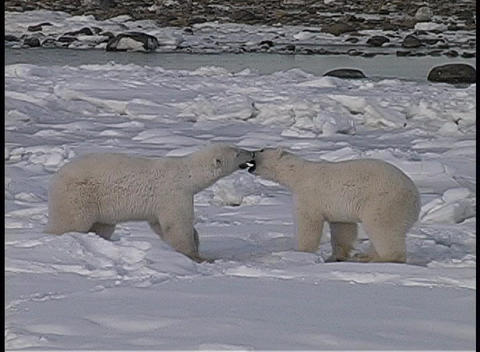 A hand-held shot of two polar bears wresting in the snow... Stock Video Footage