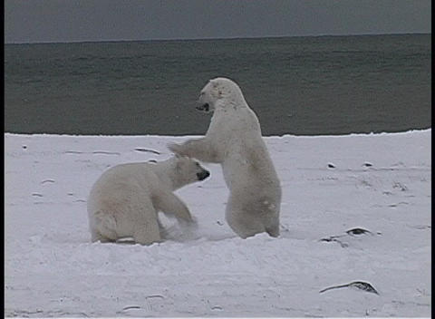 polar bears have a friendly tussle in Churchill, Alaska Stock Video Footage