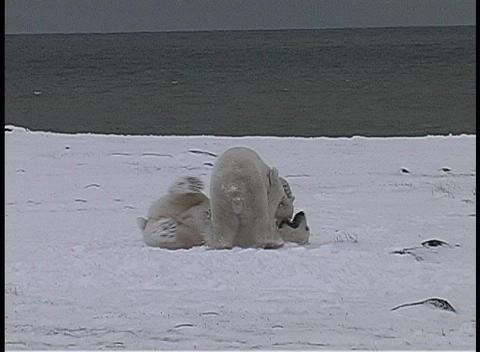 polar bears have a friendly tussle in Churchill, Alaska Stock Video Footage