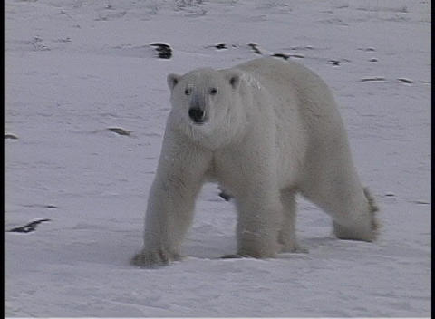 Pan to a lone polar bear walking and sniffing the icy ground in Churchill, Alaska Footage
