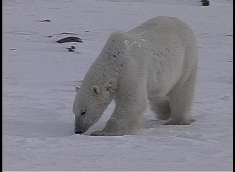 Pan to a lone polar bear walking and sniffing the icy... Stock Video Footage