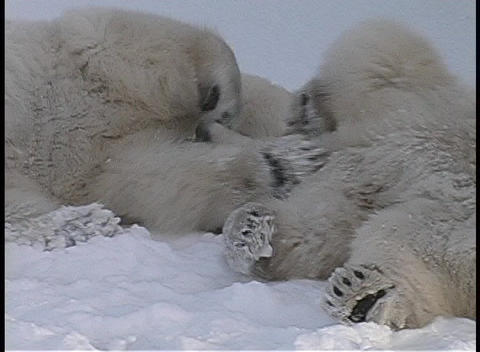 A close-up of two polar bears having a friendly tussle in... Stock Video Footage
