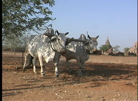 oxen aid a man in plowing an arid field in Asia Stock Video Footage