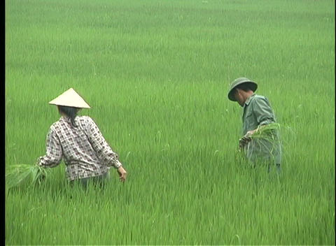 farmers harvest rice in Vietnam Stock Video Footage