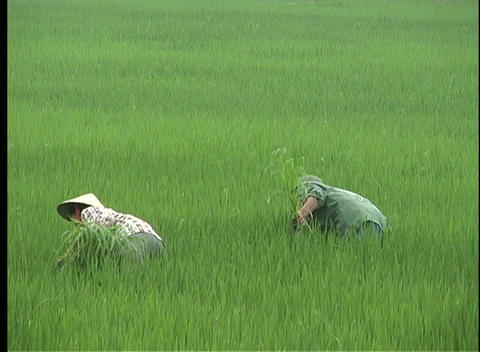 farmers harvest rice in Vietnam Footage