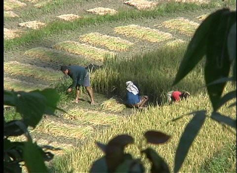 A birds-eye view of farmers harvesting rice, by hand, in Nepal, Asia Footage