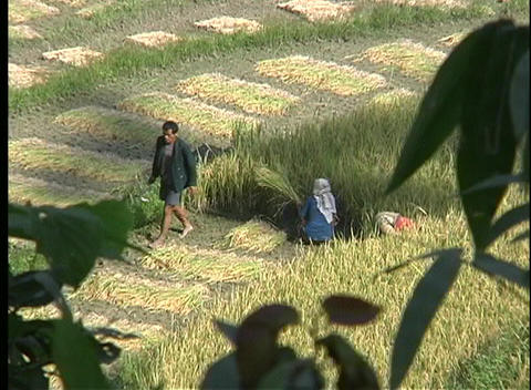 A birds-eye view of farmers harvesting rice, by hand, in... Stock Video Footage