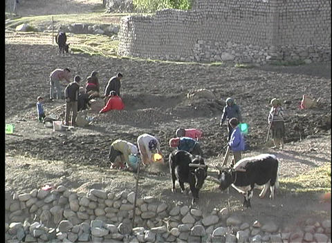 A birds-eye view of families working together with oxen,... Stock Video Footage