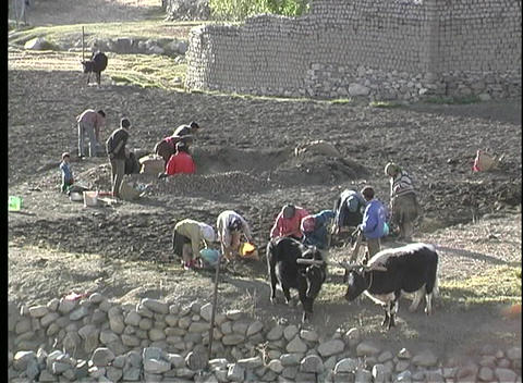 A birds-eye view of families working together with oxen, to harvest potatoes in Tibet Footage