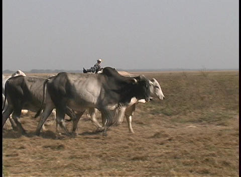 Riders on horseback accompany a herd of cows as they... Stock Video Footage