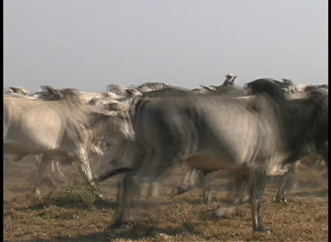 Riders on horseback accompany a herd of cows as they stampede across the prairie in a third world co Footage