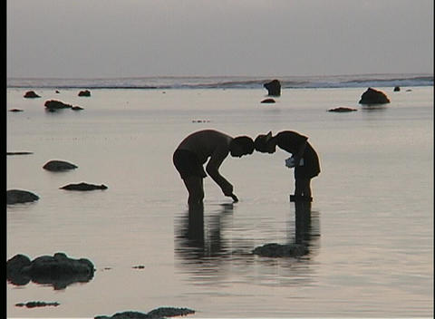 men, knee deep in water, collect food from the sea in the Cook Islands Footage