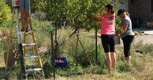 Family picking fruit peaches from tree DCI 4K Footage