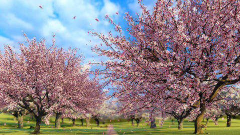 Sakura cherry trees in full blossom slow motion 3D Animation