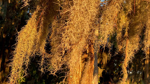 Close up of Spanish Moss blowing in the wind Live Action