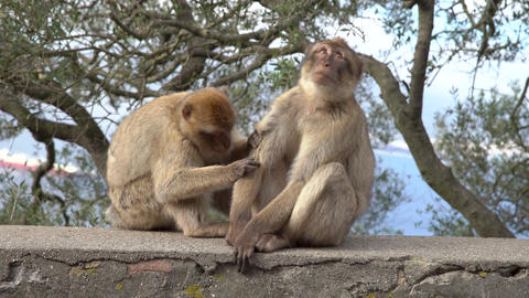 Barbary Macaque clean the fur on a wall on a hill in Gibraltar Live Action