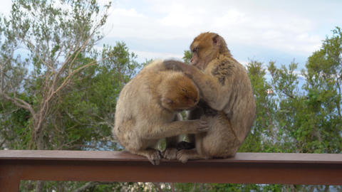 Barbary macaque on iron railing in the wild alongside the trail for tourists Live Action