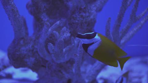 Blue Speckled Fishes, Aquarium, Closeup, Blue-Face Angel, Euxiphipops Live Action