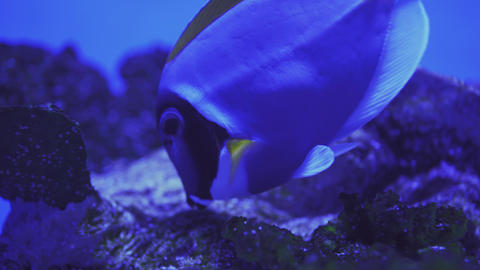 Close Up of Surgeonfish Swimming. Close up of a fish swimming. Tour of the fish Live Action
