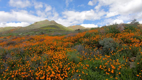 California Golden Poppy and Goldfields blooming in Walker Canyon, Lake Elsinore Live Action