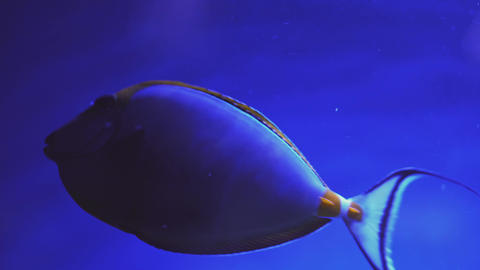 Orangespine unicornfish swimming, Naso lituratus. Close up of a fish swimming Live Action