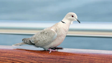 Mourning Dove wildlife bird sitting on rail wind HD 7814 Footage