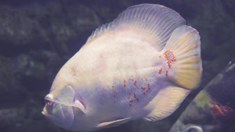 Exotic tropical fish albino astronotus or Astronotus Ocellatus in blue water Live Action