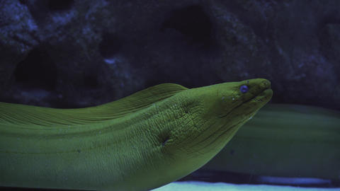 cleaner shrimp cleans mouth of moray. Close up of a fish swimming. Tour of the Live Action