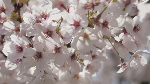 Close up sakura flowers with sunlight spring Live Action
