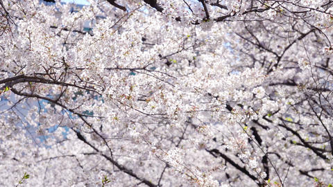 Sakura cherry blossom blowing in the wind Live Action