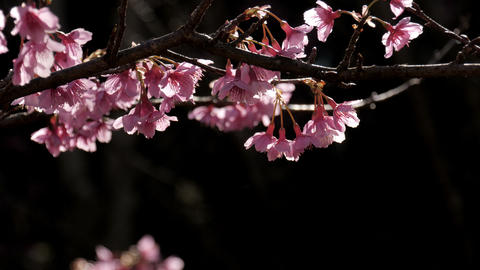 Pink flowers cherry blossom branch Live Action
