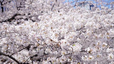 Sakura cherry blossom in spring Live Action