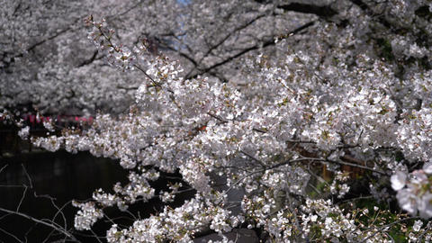 Spring season or hanami with cherry blossom in full bloom Live Action