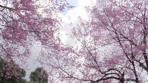 Low Angle of cherry blossom tree at park in spring Live Action