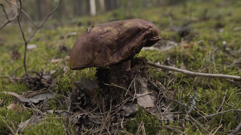 Closeup view of edible forest mushroom brown cap boletus growing in summer Live Action