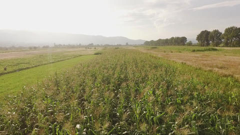 Aerial corn field view with distant mountains on sunset Live Action