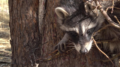 Raccoon wildlife in trap close on face 4K Footage