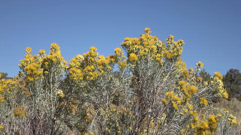 Sage brush yellow flowers in breeze 4K Footage