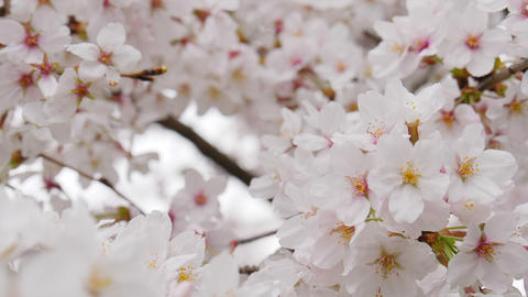 Someiyoshino sakura flowers in full bloom close up shot Live Action
