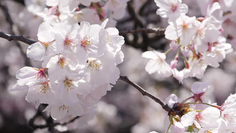 Close up of cherry blossom blooming with sunlight Live Action