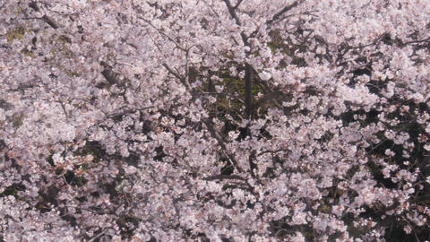 Pink Cherry blossom tree in spring Live Action