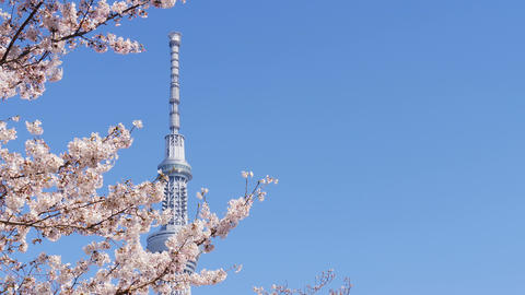 Cherry blossom full boom in spring and Tokyo sky tree tower against blue sky with copyspace Live Action