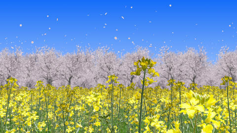 canola flower field and cherry blossom landscape, loop _ blue sky Animation