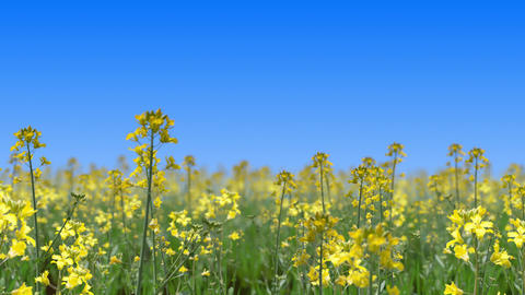 Go through the canola flower field, loop _ blue sky Videos animados